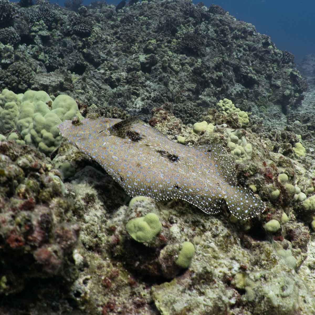Scuba-Diving-Hawaii-Kona-Honu-Divers-2