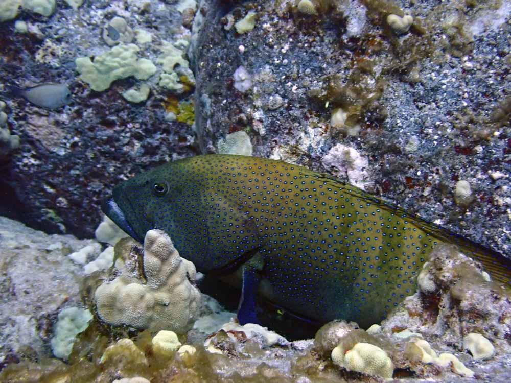 Scuba-Diving-Hawaii-Kona-Honu-Divers-16