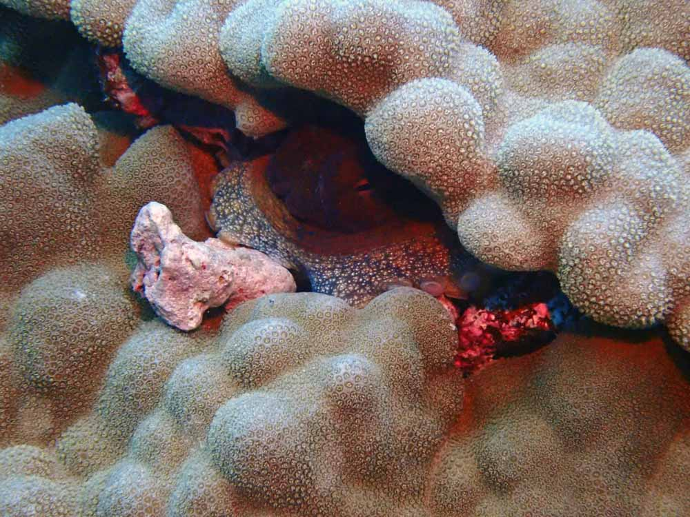 Scuba-Diving-Hawaii-Kona-Honu-Divers-28