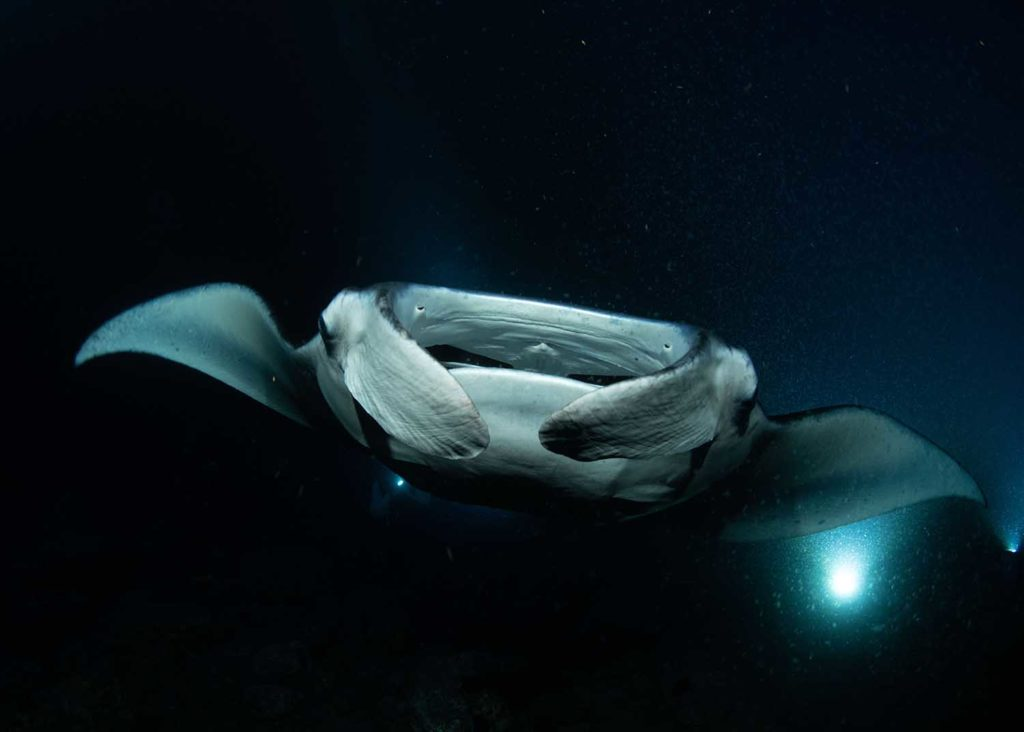 Check out the Manta Ray Night Dive with Kona Honu Divers
